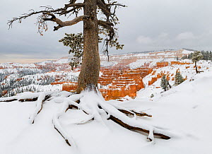 Pine tree (Pinus sp) in winter, Bryce Canyon National Park, Utah, USA, January. - John Shaw