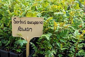 Rowan (Sorbus aucuparia) seedlings growing at Trees For Life's nursery on Dundreggan Estate, Scotland, UK, June. - SCOTLAND: The Big Picture