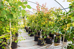 Young Aspen trees (Populus tremula) in a polytunnel at Trees For Life's nursery on Dundreggan Estate, Scotland, UK, June. - SCOTLAND: The Big Picture