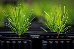 Young Scots pine (Pinus sylvestris) seedlings growing in seed trays at Trees For Life's nursery on Dundreggan Estate, Scotland, UK, June. - SCOTLAND: The Big Picture