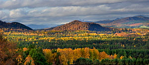 Caledonian woodland at sunset in the Cairngorms National Park, Scotland, UK, October.  -  SCOTLAND: The Big Picture