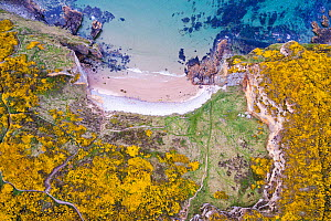 Clashach cove surrounded by flowering Gorse (Ulex europaeus) Hopeman, Scotland, UK, May. - SCOTLAND: The Big Picture