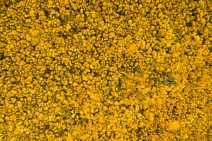 Flowering Gorse (Ulex europaeus) seen from above. Hopeman, Scotland, UK, May.  -  SCOTLAND: The Big Picture