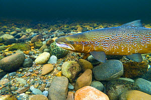 Atlantic salmon (Salmo salar) male on breeding territory in the River Ness, Scotland, UK, January. - SCOTLAND: The Big Picture