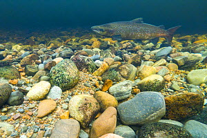 Atlantic salmon (Salmo salar) on breeding territory in the River Ness, Scotland, UK, January. - SCOTLAND: The Big Picture