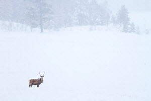 Red deer stag (Cervus elaphus) standing in a snow covered landscape. Cairngorms National Park, Scotland, UK, January. - SCOTLAND: The Big Picture