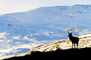 Red deer stag (Cervus elaphus) silhouetted against a snow covered mountain. Cairngorms National Park, Scotland, UK, February. - SCOTLAND: The Big Picture