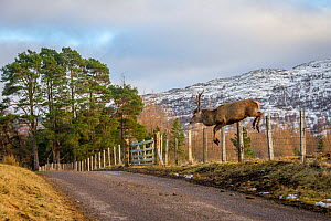 Red deer stag (Cervus elaphus) jumping over a stock fence. Cairngorms National Park, Scotland, UK, February. - SCOTLAND: The Big Picture