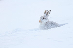 Mountain hare (Lepus timidus) in a snow hole. Scotland, UK, February.  -  SCOTLAND: The Big Picture