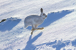 Mountain hare (Lepus timidus) running across a snow covered landscape, Scotland, UK, February. - SCOTLAND: The Big Picture