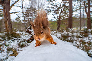 Red squirrel (Sciurus vulgaris) on a snow covered fallen tree in Caledonian Forest. Cairngorms National Park, Scotland, UK, March. - SCOTLAND: The Big Picture