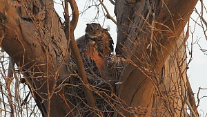 Great horned owl (Bubo virginianus) preening at nest with chicks, Southern California, USA, May. - John Chan