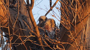 Great horned owl (Bubo virginianus) chicks huddling together at nest, Southern California, USA, May. - John Chan