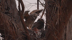 Great horned owl (Bubo virginianus) chicks stretching and flapping their wings, Southern California, USA, May. - John Chan