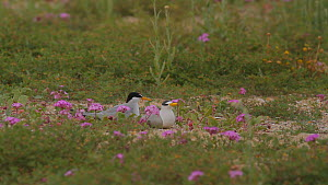 California least tern (Sternula antillarum browni) returning to a nest site established next to to a decoy, Southern California, USA, May. - John Chan