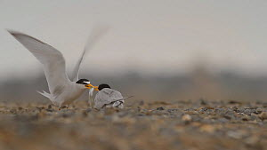Male California least tern (Sternula antillarum browni) offering female a fish during courtship, Southern California, USA, June. - John Chan