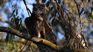 Great horned owl (Bubo virginianus) perched in a tree, stretching wings, Southern California, USA, June.  -  John Chan