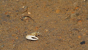 Crenulated fiddler crab (Uca crenulata) waving its major claw at another crab, part of a courtship display, Southern California, USA, June.  -  John Chan