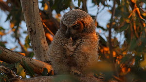 Great horned owl (Bubo virginianus) chick scratching and cleaning its talons, Southern California, USA, June.  -  John Chan
