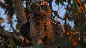 Great horned owl (Bubo virginianus)chick scratching and stretching its wings, Southern California, USA, June.  -  John Chan