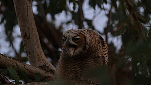 Great horned owl (Bubo virginianus) chick coughing up a pellet, Southern California, USA, June.  -  John Chan