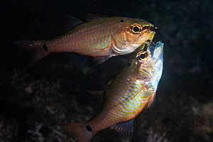 Spotnape cardinalfish (Ostorhinchus notatus) pair spawning. Male has taken fertilised eggs into mouth to brood, female chasing male in an apparent attempt to steal eggs. Shizuoka Prefecture, Honshu, J... - Tony Wu