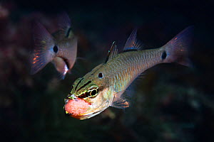 Spotnape cardinalfish (Ostorhinchus notatus) pair, male taking cluster of fertilised eggs into mouth to brood. Shizuoka Prefecture, Honshu, Japan. June. - Tony Wu