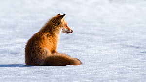 Ezo red fox (Vulpes vulpes schrencki) sitting on snow, licking lips after eating Vole. Hokkaido, Japan. April.  -  Tony Wu