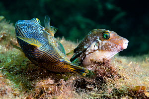 Brown-lined puffer fish (Canthigaster rivulata) pair spawning. Shizuoka Prefecture, Honshu, Japan. June. - Tony Wu