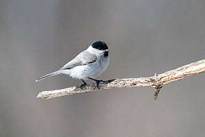 Marsh tit (Poecile palustris hensoni) perched on branch. Hokkaido, Japan. March.  -  Tony Wu