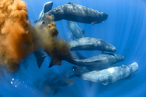 Sperm whale (Physeter macrocephalus), ten swimming together in gathering of more than 50 individuals. Whales with flatulence and defecating. Sri Lanka. - Tony Wu
