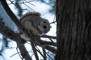 Siberian flying squirrel (Pteromys volans orii) sitting in tree at dusk. Hokkaido, Japan. March.  -  Tony Wu
