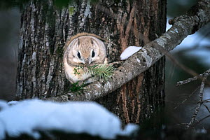 Siberian flying squirrel (Pteromys volans orii) feeding on Sakhalin fir tree. Hokkaido, Japan. March.  -  Tony Wu