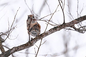Siberian flying squirrel (Pteromys volans orii) eating buds in tree. Hokkaido, Japan. March.  -  Tony Wu
