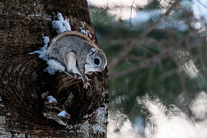 Siberian flying squirrel (Pteromys volans orii) emerging from nest hole in tree at dusk. Hokkaido, Japan. March.  -  Tony Wu