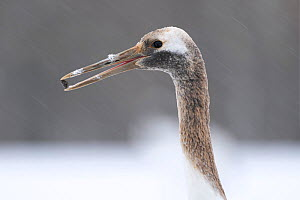 Manchurian crane (Grus japonensis) juvenile with rock in beak found whilst foraging, portrait. Hokkaido, Japan. March.  -  Tony Wu