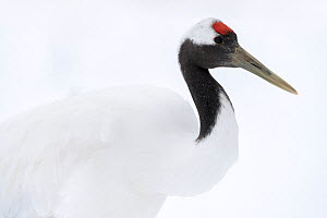 Manchurian crane (Grus japonensis) closing nictitating membrane of eye, portrait. Hokkaido, Japan. March. Sequence 1/3.  -  Tony Wu