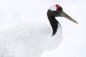 Manchurian crane (Grus japonensis) closing nictitating membrane of eye, portrait. Hokkaido, Japan. March. Sequence 2/3.  -  Tony Wu