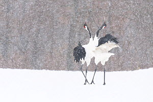 Manchurian crane (Grus japonensis) pair in courtship dance during snowstorm. Hokkaido, Japan. March.  -  Tony Wu