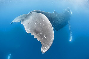 Humpback whale (Megaptera novaeangliae australis) female with calf swimming above head. Rake marks on fluke created by Orca or False Killer whale predators. Vava'u Islands, Tonga.  -  Tony Wu