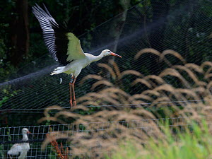 Captive reared juvenile White stork (Ciconia ciconia) flying from a temporary holding pen on release day on the Knepp Estate, Sussex, UK, August 2019. - Nick Upton