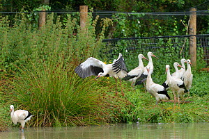 Captive reared juvenile White stork (Ciconia ciconia) flying from an opening in a temporary holding pen past another walking out on release day on the Knepp estate as others look on, Sussex, UK, Augus...  -  Nick Upton