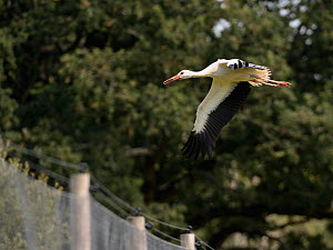 Captive reared juvenile White stork (Ciconia ciconia) flying from a large fenced enclosure on release day on the Knepp Estate, Sussex, UK, August 2019.  -  Nick Upton
