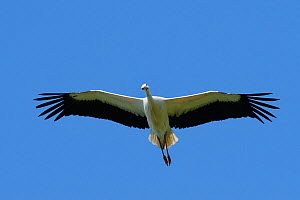 Captive reared juvenile White stork (Ciconia ciconia) in flight over the Knepp Estate soon after release,looking down, Sussex, UK, August 2019.  -  Nick Upton