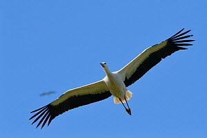 Captive reared juvenile White stork (Ciconia ciconia) in flight over the Knepp Estate soon after release, with another high above it, Sussex, UK, August 2019.  -  Nick Upton