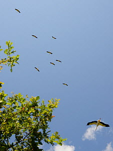 Captive reared juvenile White storks (Ciconia ciconia), flying over Oak trees soon after release on the Knepp estate, Sussex, UK, August 20198.  -  Nick Upton