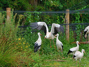 Captive reared juvenile White stork (Ciconia ciconia) flying from an opening in a temporary holding pen on release day on the Knepp estate as others look on, Sussex, UK, August 2019.  -  Nick Upton