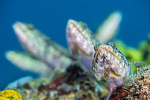 Group of five reef lizardifsh (Synodus variegatus) waiting in ambush. These were perched on the highest point of a coral reef attempting to catch schooling baitfish above. Bitung, North Sulawesi, Indo... - Alex Mustard