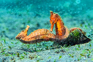 Two female Common seahorses (Hippocampus kuda) fighting over territory on the seabed. The brief fight was preceeded by a ritualised, synchronised parade. Bitung, North Sulawesi, Indonesia. Lembeh Stra... - Alex Mustard