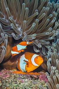 Pair of Western clown anemonefish (Amphiprion ocellaris) spawning orange eggs on the rock beneath their Magnificent sea anemone (Heteractis magnifica) home on a coral reef. This photo shows the larger...  -  Alex Mustard